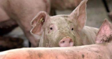 Lugoj Expres Suspiciune de pestă porcină, la câțiva kilometri de Lugoj suspiciune ședință porci pestă porcină Lugoj Giroc DSVSA boli Belinț Bârna
