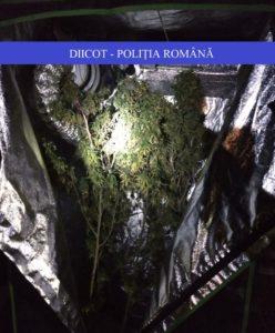 Lugoj Expres Percheziții la traficanții de droguri din Lugoj și Timișoara. Zeci de persoane au fost duse la audieri, la sediul DIICOT traficanți Timișoara substanțe psihoactive rețea infracțională poliție percheziții mascați Lugoj grupare infracțională droguri DIICOT dealeri