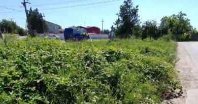 Lugoj Expres În ceasul al 12-lea, Primăria Lugoj începe lupta cu... ambrozia SOS ambrozia protecția mediului Lugoj campanie ambrozie