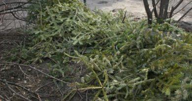 Lugoj Expres Acțiune de strângere a brazilor de Crăciun strângere Lugoj colectare brazi de Crăciun brazi aruncați acțiune
