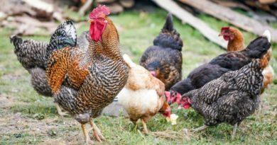 Lugoj Expres Alertă de gripă aviară! Recomandări pentru crescătorii de păsări siguranța alimentelor recomandări măsuri Lugoj gripă aviară focar Direcția Sanitară Veterinară crescătorii de păsări alertă