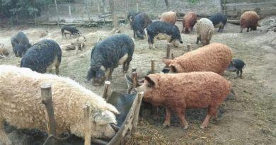 Lugoj Expres Ajutor de minimis pentru crescătorii de porci de reproducție susținere program porci de reproducție Mangalița Lugoj înscriere fermieri crescătorii de porcu Bazna ajutor de minimis