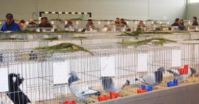 Lugoj Expres Expoziție de porumbei, găini, păsări exotice și iepuri porumbei păsări exotice Lugoj iepuri găini Fauna expoziție