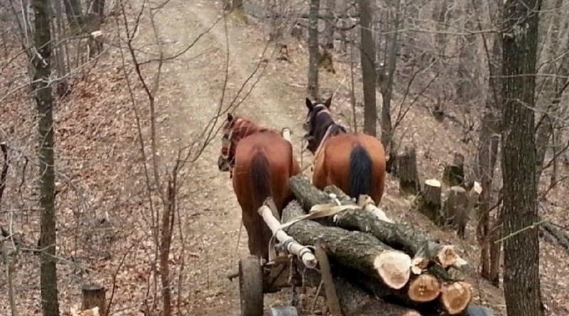 Lugoj Expres Bărbat de 49 de ani prins în timp ce tăia ilegal lemne dintr-o pădure tăiat lemne Sărăzani polițiștii din Bîrna pădure infracțiuni silvice furt de arbori dosar penal defrișat combaterea ilegalităților Bîrna
